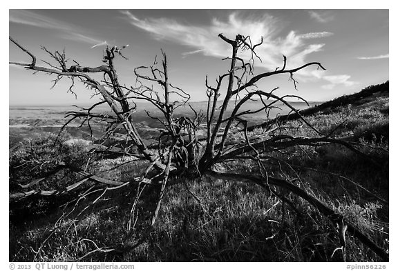 Tree skeleton near South Chalone Peak. Pinnacles National Park (black and white)