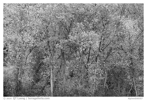 Cottonwoods in autumn along Chalone Creek. Pinnacles National Park (black and white)