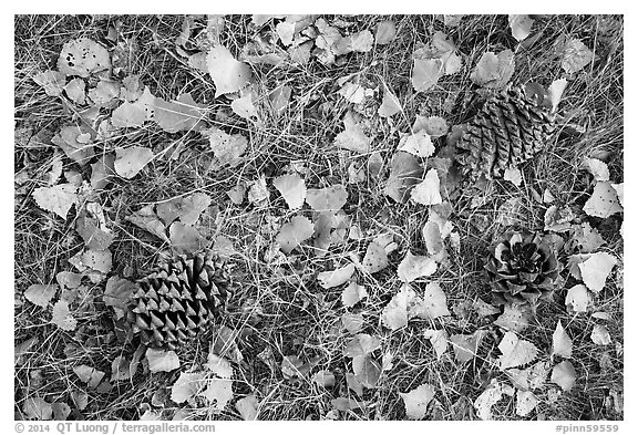 Ground view in autumn with pine cones and fallen cottonwood leaves. Pinnacles National Park (black and white)