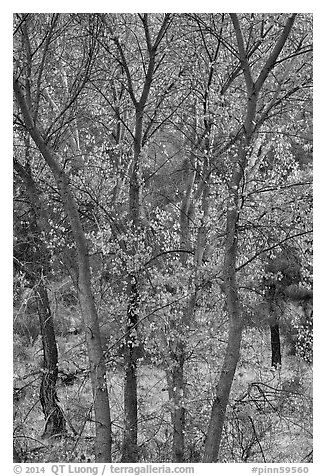 Trees in autumn foliage, Bear Valley. Pinnacles National Park (black and white)