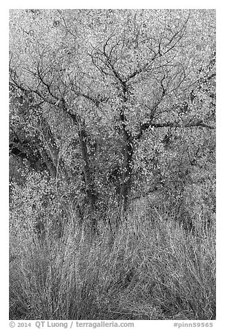 Shrubs and cottonwoods in autumn. Pinnacles National Park (black and white)