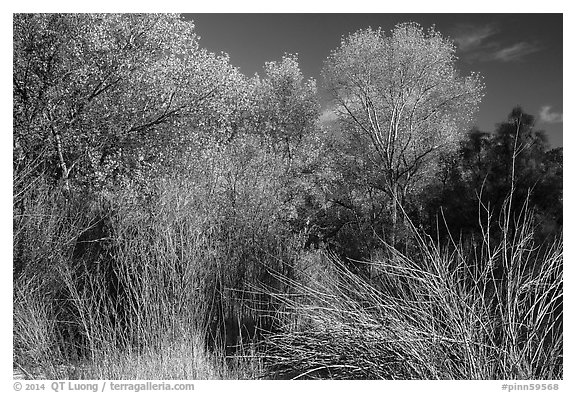 Shrubs and trees in autumn against blue sky, Bear Valley. Pinnacles National Park (black and white)