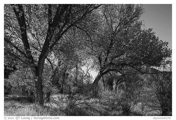 Group of cottonwoods trees in autumn. Pinnacles National Park (black and white)