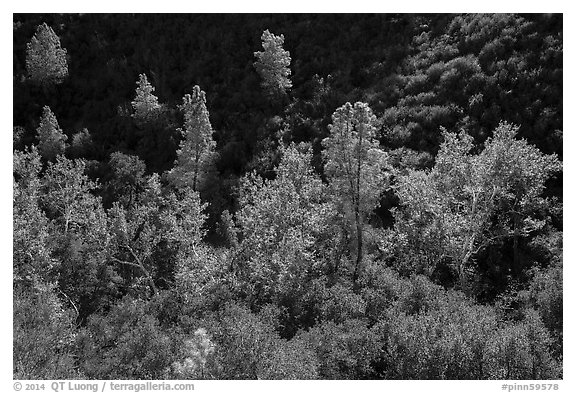 Evergreens and deciduous trees in fall foliage along Bear Gulch. Pinnacles National Park (black and white)