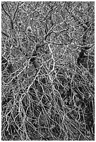 Close-up of Buckeye bare branches in autumn. Pinnacles National Park ( black and white)