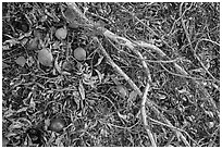 Ground view with Buckeye branches and fallen nuts. Pinnacles National Park ( black and white)