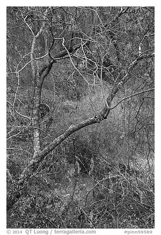 Branches above Dry Chalone Creek in autumn. Pinnacles National Park (black and white)