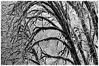 Moss-covered arching tree. Redwood National Park ( black and white)