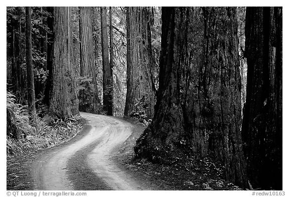 Twisting Howland Hill Road, Jedediah Smith Redwoods State Park. Redwood National Park (black and white)