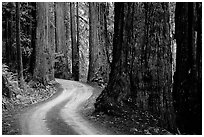 Twisting Howland Hill Road, Jedediah Smith Redwoods. Redwood National Park, California, USA. (black and white)