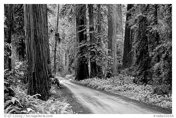Gravel road, Howland Hill, Jedediah Smith Redwoods State Park. Redwood National Park (black and white)
