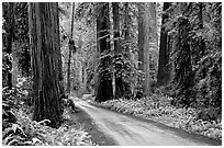 Gravel road, Howland Hill, Jedediah Smith Redwoods State Park. Redwood National Park ( black and white)