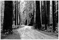 Back rood amongst redwood trees, Howland Hill, Jedediah Smith Redwoods. Redwood National Park, California, USA. (black and white)
