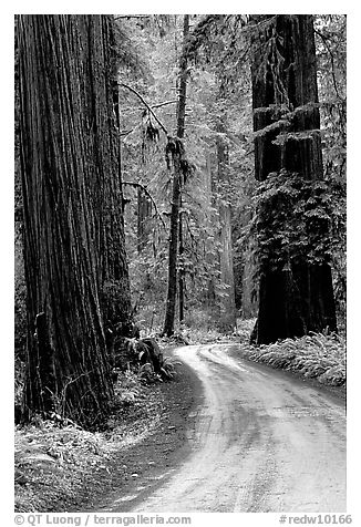 Winding Howland Hill Road, Jedediah Smith Redwoods State Park. Redwood National Park (black and white)