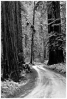 Winding Howland Hill Road, Jedediah Smith Redwoods. Redwood National Park, California, USA. (black and white)