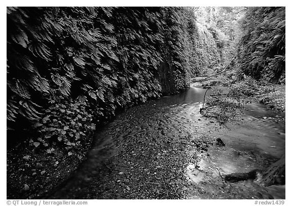 Fern-covered walls, Fern Canyon, Prairie Creek Redwoods State Park. Redwood National Park (black and white)