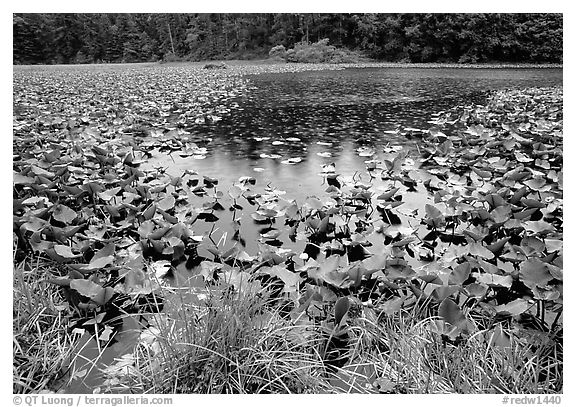 Pond with water plants. Redwood National Park (black and white)