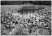 Pond with water plants. Redwood National Park, California, USA. (black and white)