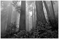 Looking up tall coast redwoods (Sequoia sempervirens) in fog. Redwood National Park, California, USA. (black and white)