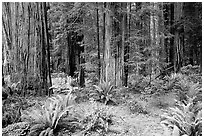 Ferns, redwoods, Del Norte. Redwood National Park, California, USA. (black and white)