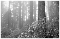 Rododendrons, tall coast redwoods, and fog, Del Norte. Redwood National Park, California, USA. (black and white)