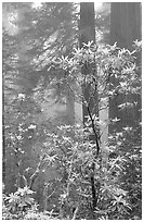 Rododendrons, coast redwoods, and fog, Del Norte. Redwood National Park, California, USA. (black and white)