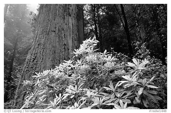 Rododendrons in bloom and thick redwood tree, Del Norte Redwoods State Park. Redwood National Park (black and white)