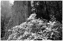 Rododendrons in bloom and thick redwood tree, Del Norte. Redwood National Park, California, USA. (black and white)