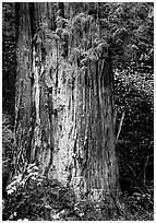 Redwood trunk (scientific name: sequoia sempervirens). Redwood National Park, California, USA. (black and white)