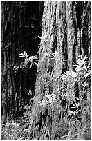 Redwood trunk and rododendron. Redwood National Park, California, USA. (black and white)