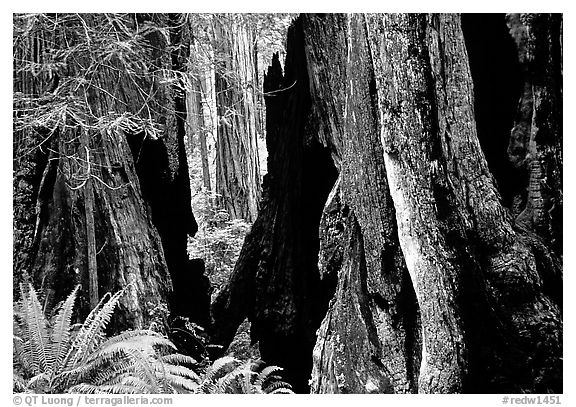 Hollowed redwoods and ferns, Del Norte. Redwood National Park (black and white)