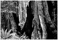 Hollowed redwoods and ferns, Del Norte. Redwood National Park, California, USA. (black and white)