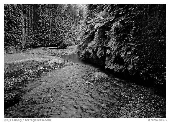 Stream and walls covered with ferms, Fern Canyon. Redwood National Park (black and white)