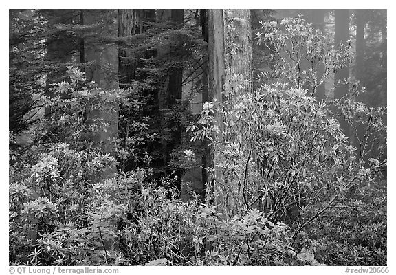 Rhododendrons in coastal redwood forest with fog, Del Norte Redwoods State Park. Redwood National Park (black and white)