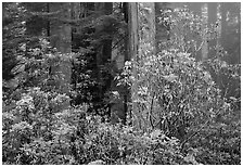 Rhododendrons in coastal redwood forest with fog. Redwood National Park, California, USA. (black and white)