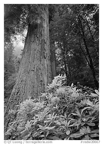Rhododendron flowers at base of large redwood tree, Del Norte Redwoods State Park. Redwood National Park (black and white)