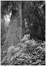 Rhododendron flowers at  base of large redwood tree. Redwood National Park, California, USA. (black and white)