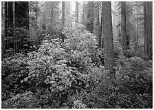 Rododendrons in bloom in redwood grove, Del Norte. Redwood National Park, California, USA. (black and white)