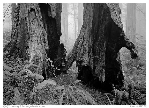 Hollowed redwood in fog, Del Norte. Redwood National Park (black and white)