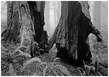 Hollowed redwood in fog, Del Norte. Redwood National Park, California, USA. (black and white)