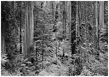 Old-growth redwood forest, Howland Hill. Redwood National Park, California, USA. (black and white)