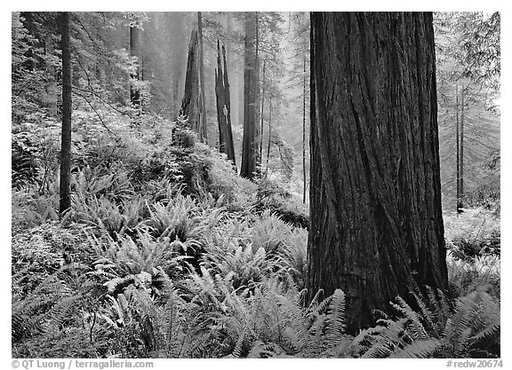 Ferns and trunks, foggy forest, Del Norte Redwoods State Park. Redwood National Park (black and white)