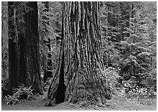 Base of gigantic redwood trees (Sequoia sempervirens), Prairie Creek. Redwood National Park, California, USA. (black and white)