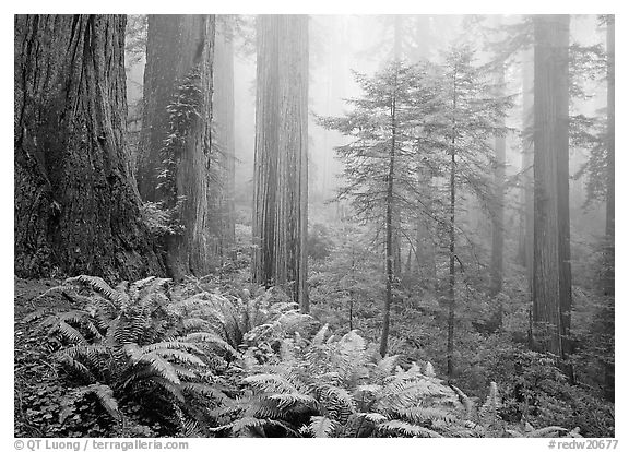 Ferns, coast redwoods, and fog, Del Norte. Redwood National Park (black and white)
