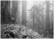 Ferns, coast redwoods, and fog, Del Norte. Redwood National Park, California, USA. (black and white)