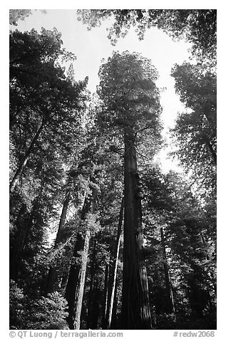 Towering redwoods, Lady Bird Johnson grove. Redwood National Park (black and white)