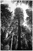 Towering redwoods, Lady Bird Johnson grove. Redwood National Park, California, USA. (black and white)