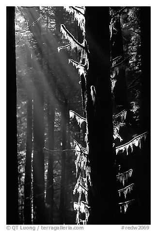 Moss and backlighted branches. Redwood National Park (black and white)