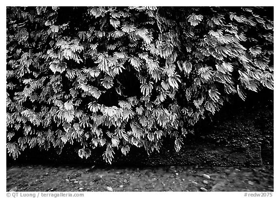 Fern-covered wall, Fern Canyon. Redwood National Park (black and white)