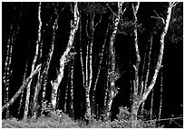 Light Trees near Fern Canyon. Redwood National Park, California, USA. (black and white)